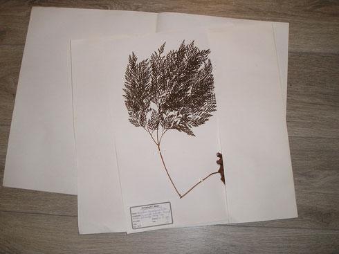 herbariumvel in omslagmap
