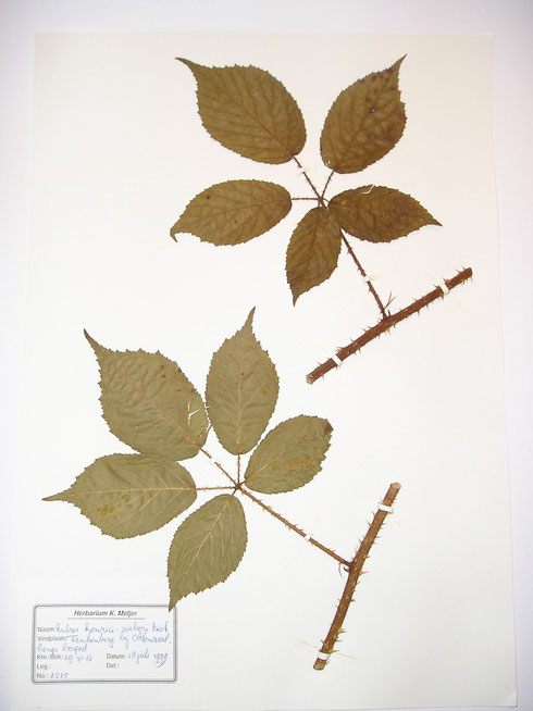 Rubus henrici-weberi Beek typelocatie