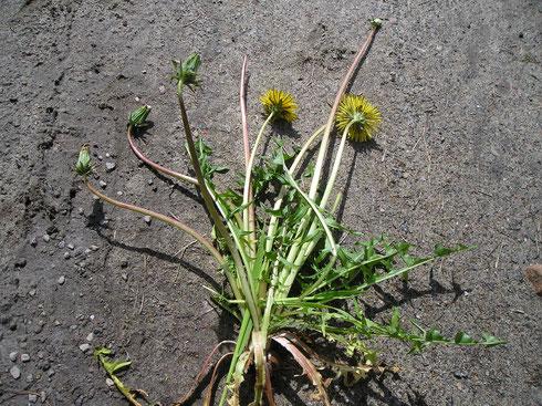 Taraxacum drenthicum