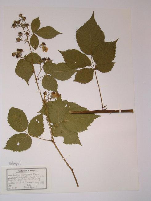 Rubus surrectus Meijer holotype