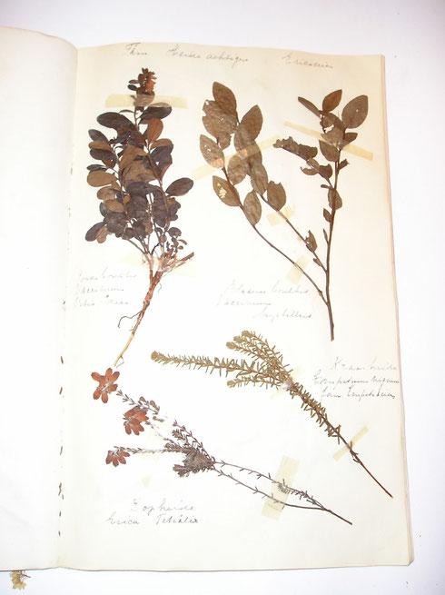 Herbarium Curiosum   collectie herbarium frisicum