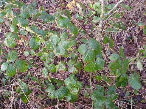 Rubus mucronulatus Bor.  Oldeberkoop