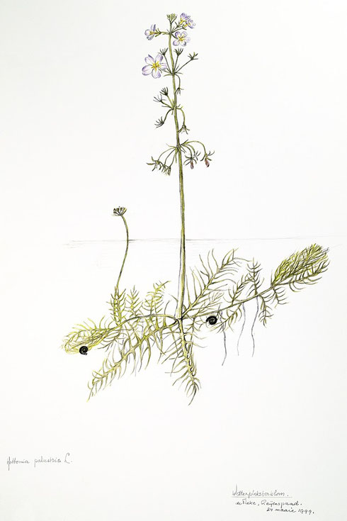 D.T.E. van der Ploeg  Hottonia palustris L. ingekleurde tekening