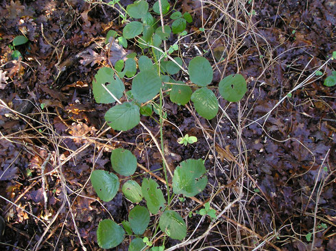 Rubus egregius Focke  Landgoed de Eese  Eesveen