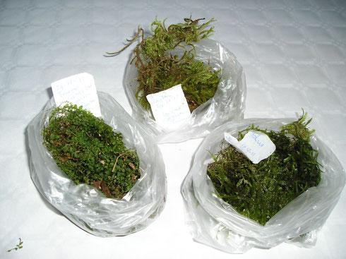 Mossen vers verzamelt uit Taunus bij Bad Homburg en nu ter droging