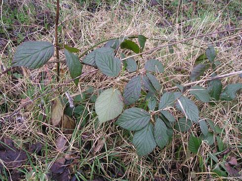 Rubus rudis Weihe  Steenwijkerwold