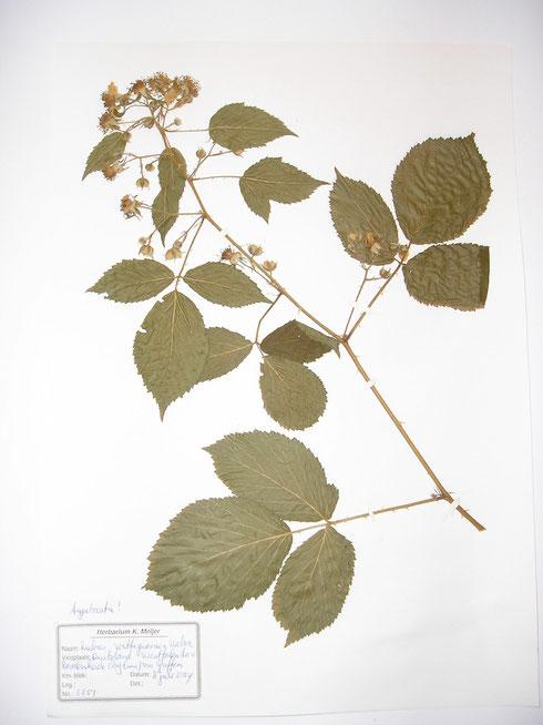 Rubus wittigianus Weber