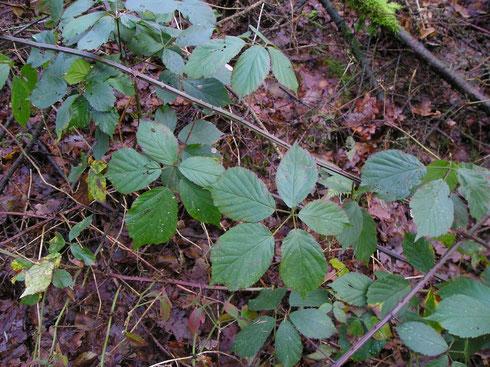 Rubus gratus Focke  Noordwolde