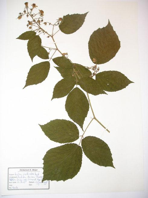 Rubus praticolor Beek