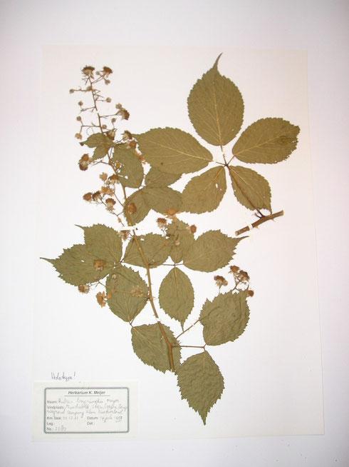 Rubus beijerinckii Meijer