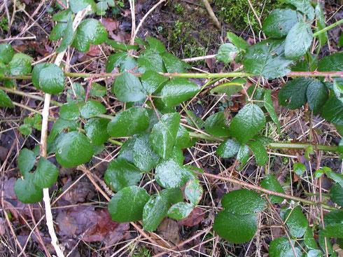 Rubus laevicaulis Beek   Noordwolde