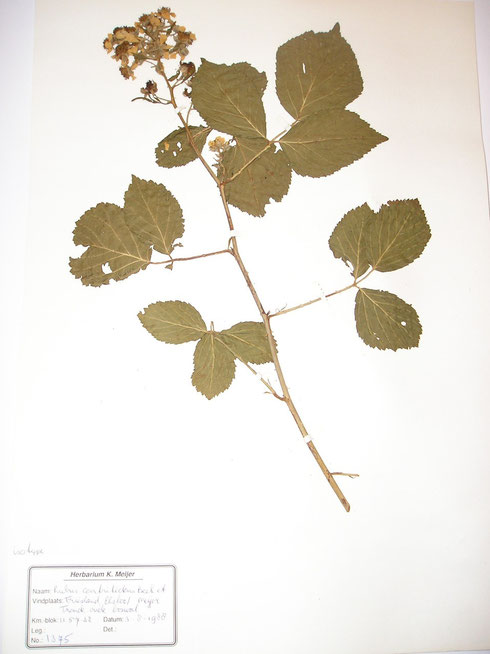 Rubus contritidens Beek et Meijer typelocatie