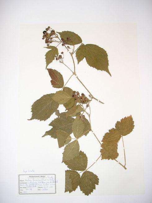 Rubus frisicus [Frid.ex Focke] Focke