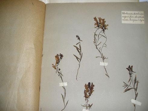 Herbarium Hans Laubwasser 1923 collectie herbarium frisicum