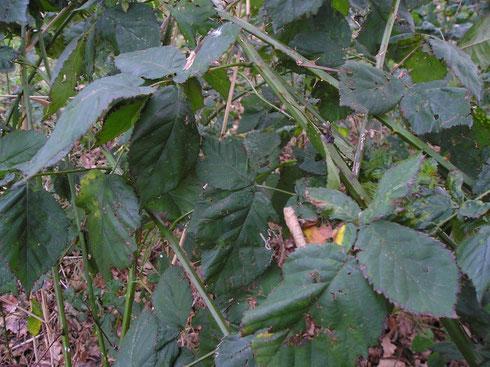 Rubus vigorosus P.J.M. &Wirtg.  Havelte