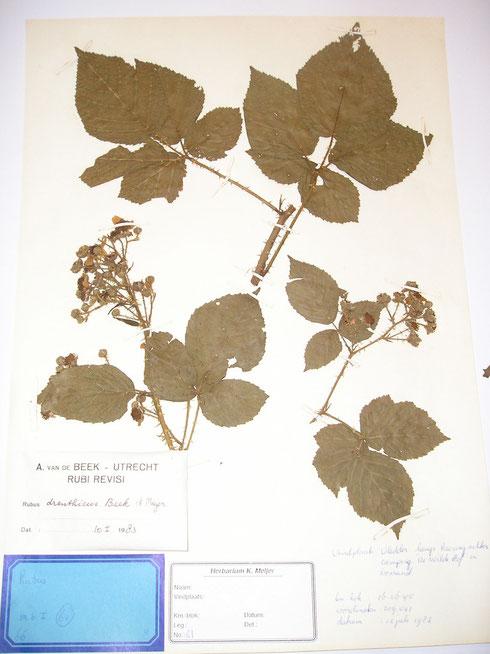 Rubus drenthicus Beek et Meijer typelocatie