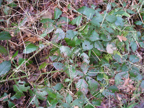Rubus sprengelii Weihe  Wapse