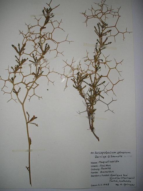 Herbariumvel uit herbarium M.Springer  collectie herbarium frisicum