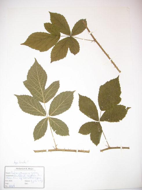 Rubus griesiae Weber  typelocatie