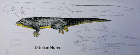 Zeichnung wurde von Julian Hume freundlicherweise zur Verfügung gestellt, an dieser Stelle ein herzliches Dankeschön