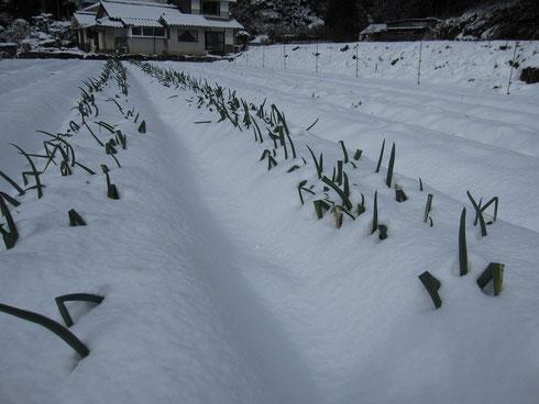 雪に埋もれたマチコネギ
