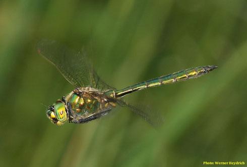 Ein Männchen der Glänzenden Smaradlibelle, Somatochlora metallica, auf Jagdflug.