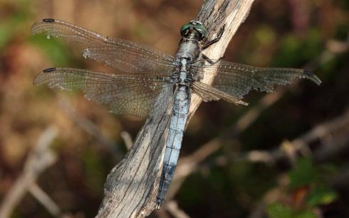 Östlicher Blaupfeil, Orthetrum albistylum, altes, abgeflogenes Männchen.