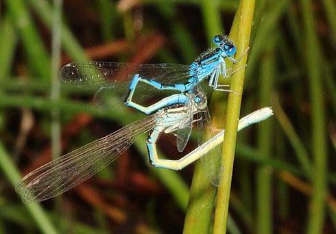 Zur Vorbereitung der Paarung befüllt das Männchen sein sekundäres Geschlechtsteil mit Spermien, woran das Weibchen später mit seinem Kopulationsapparat unmittelbar darauf andockt.