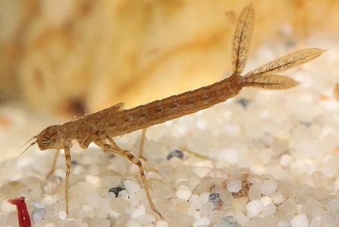 Die Larve einer Großen Pechlibelle, Ischura elegans, in einer Studioaufnahme.