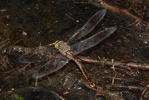 Kleine Königslibelle, Anax parthenope, Weibchen der braunen Variante bei der Solo-Eiablage.