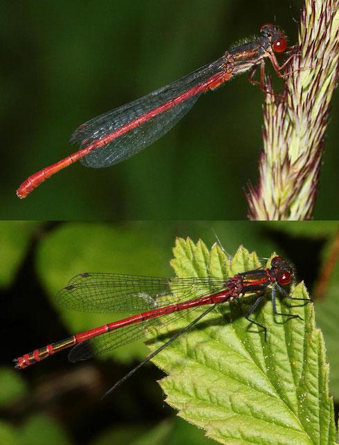 Ein direkter Vergleich zwischen den Männchen der Späten Adonislibelle, Ceriagrion tenellum, oben und der Frühen Adonislibelle, Pyrrhosoma nymphula, unten im Bild.