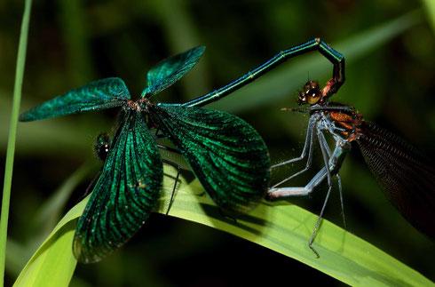 Ein Paarungsrad der Blauflügel-Prachtlibelle, Calopteryx virgo. Beachte die außergewöhnliche Flügelstellung des Männchens.