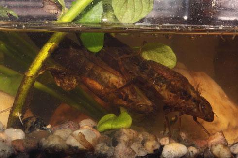 Zwei Larven der Großen Königslibelle, Anax imperator, atmen atmosphärischen Sauerstoff.