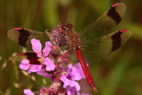 Ausgefärbtes Männchen von Sympetrum pedemontanum.