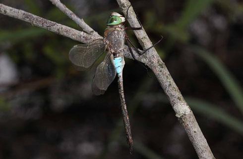 Ruhendes Männchen der Kleinen Königslibelle, Anax partheope, laterale Ansicht.