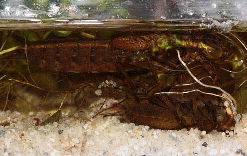 Eine Larve der Großen Königslibelle, Anax imperator, kurz vor der Imaginalhäutung. Darunter ist eine sich tot stellende Larve des Vierflecks zu erkennen.