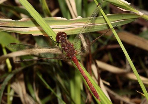 Ein Männchen der Südlichen Heidelibelle, Sympetrum merdionale.