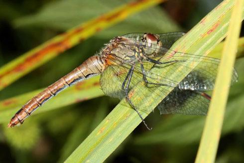 Ein Weibchen der Blutroten Heidelibelle nach der Eiablage ruhend in der Vegetation. Beachte das einzelne Ei in der offenen Legeklappe.
