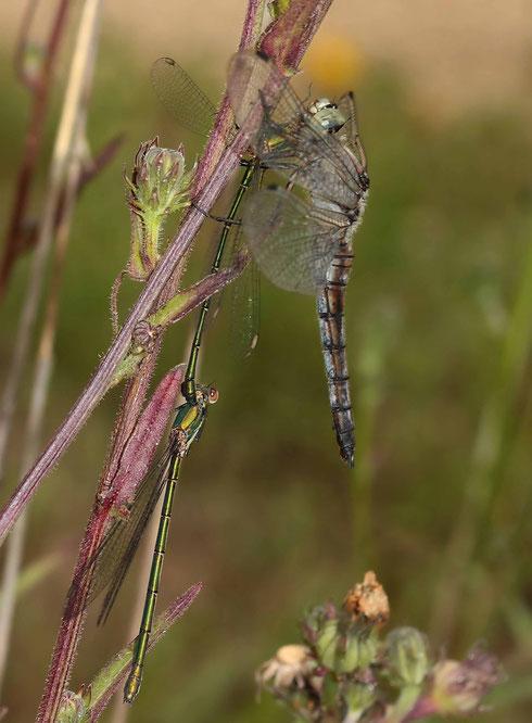 Großer Blaupfeil, Orthetrum cancellatum, Weibchen mit einem Tandem der Gemeinen Weidenjungfer, Lestes viridis, als Beute.