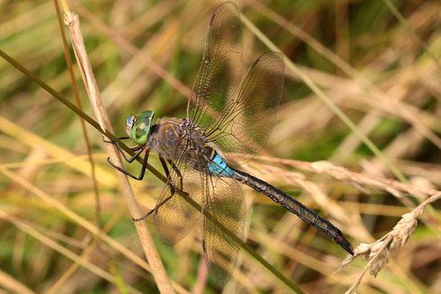 Ein erwachsenes Männchen während einer kurzen Ruhepause in der Vegetation.