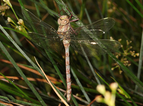 Frisch geschlüpftes Weibchen mit kurzen Hinterleibsanhängen, forma brachycera.