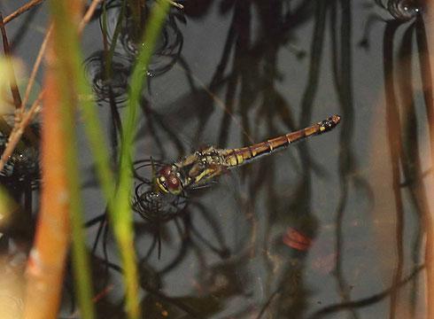 Die Eier werden, meist in Tandemformation unter Führung des Männchens, oder wie hier zu sehen, vom Weibchen alleine, im wippenden Flug über Wasser abgeworfen.