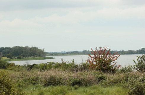 Der Gekielte Flussfalke entwickelt sich auch an großen Stillgewässern.