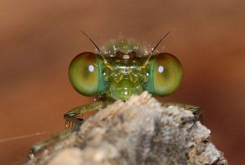 Das gleiche Individuum von vorne betrachtet; Die Breite des Kopfes beträgt etwa 3 Millimeter!