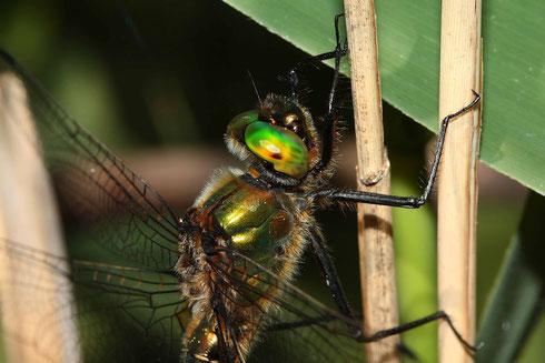 Ein Portrait eines Männchens der Gemeinen Falkenlibelle, Cordulia aenea.