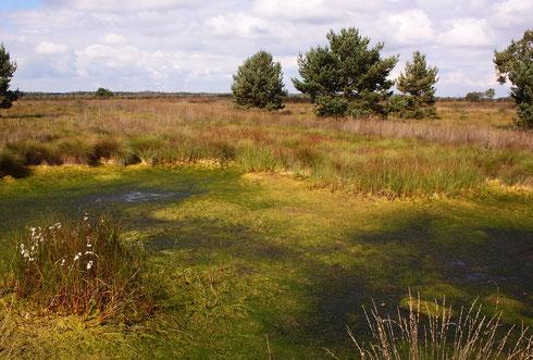 Derartige Moorschlenken in offenem Gelände mit reichlich Torfmoosvorkommen bilden ein Optimalhabitat für die Hochmoor-Mosaikjungfer, Aeshna subarctica elisabethae.