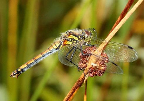 Nach der Paarung hat sich an der offenen Legeklappe des Weibchens eine Art Membran gebildet, welche die noch ungelegten Eier im Leibesinneren schützt.