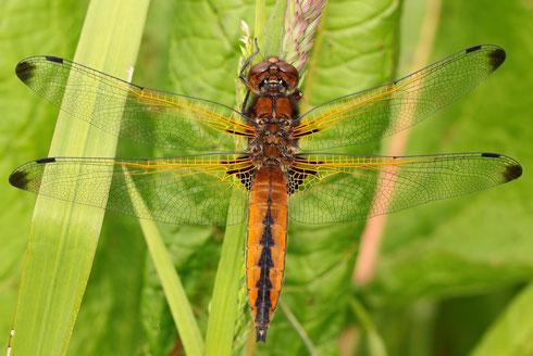 Männchen der Art mit derartig ausgeprägten schwarzen Flügelspitzen sind nur sehr selten zu beobachten.