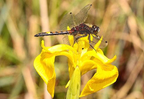 """...danach muss sich das """"entführte"""" Männchen erst mal auf der Blüte einer Wasserlilie erholen."""