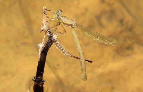 Kleine Binsenjungfer, Lestes virens, frisch geschlüpftes Weibchen.